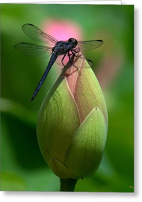 Lotus Bud And Slatey Skimmer Dragonfly Dl006 Greeting Card