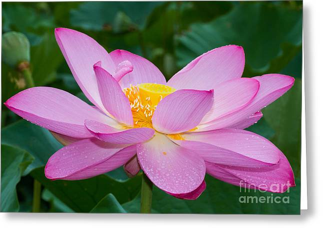 Lotus Dew Greeting Card by Dale Nelson