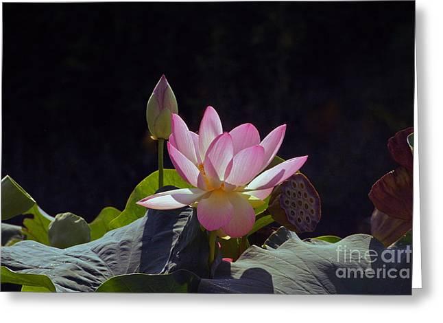 Lotus Enchantment Greeting Card by Byron Varvarigos