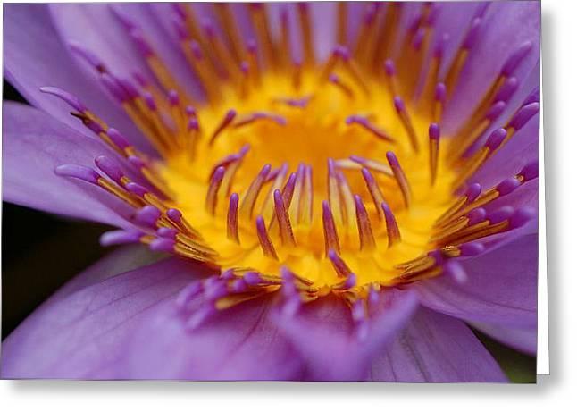 Lotus In Bloom Greeting Card by Janet Hawkins