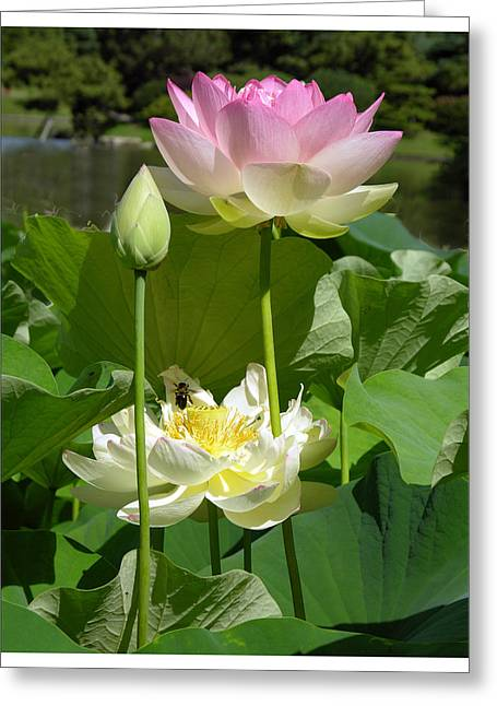Lotus In Bloom Greeting Card by John Lautermilch