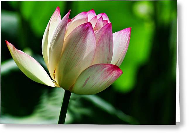 Lotus In Bloom Greeting Card