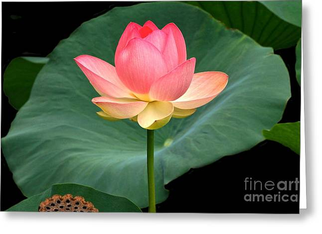 Lotus Of Late August Greeting Card