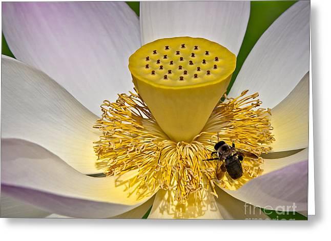 Lotus Pollinator Greeting Card by Susan Candelario