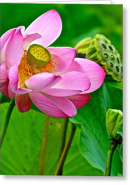 Lotus Greeting Card by Frozen in Time Fine Art Photography