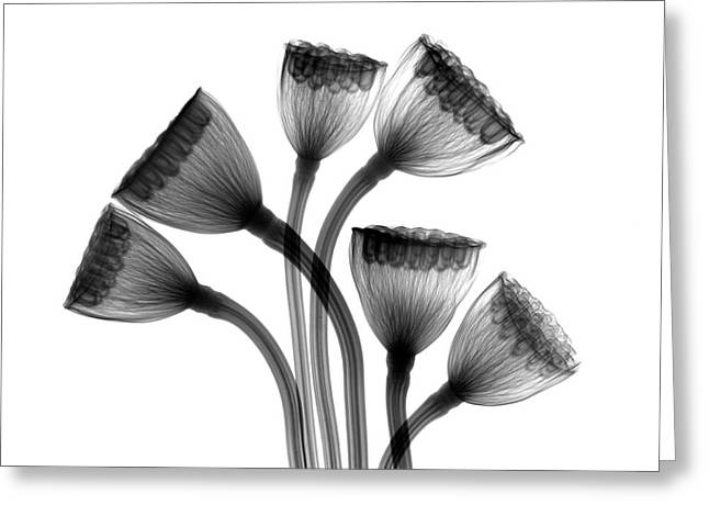 Lotus Seedheads Greeting Card