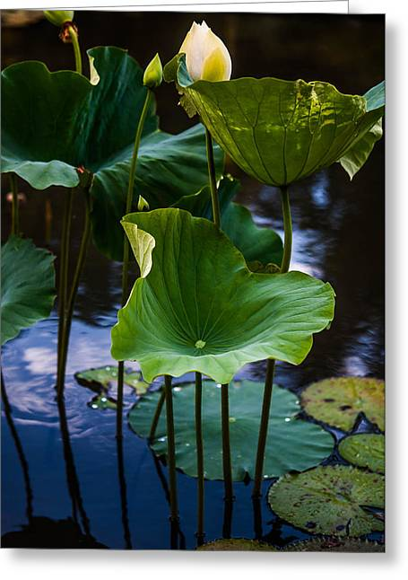 Lotuses In The Evening Light. Vertical Greeting Card by Jenny Rainbow