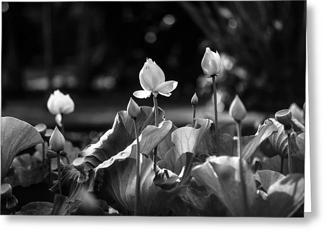 Lotuses In The Pond. Black And White Greeting Card by Jenny Rainbow