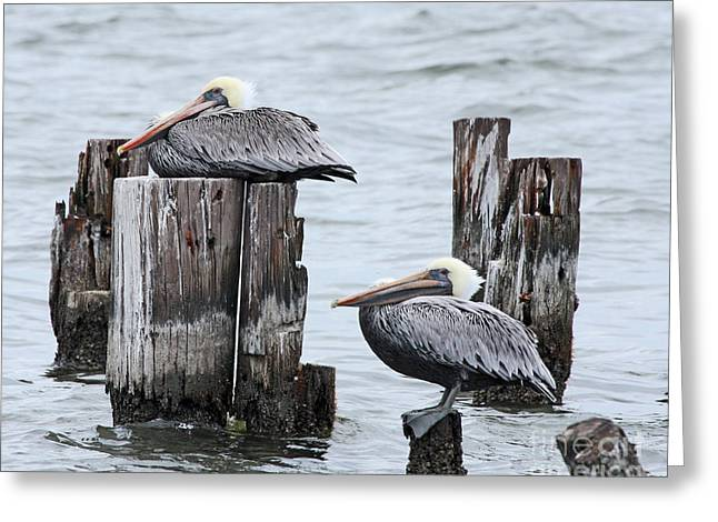 Louisiana Pelicans On Lake Ponchartrain Greeting Card