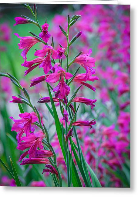 Louisiana Pink Iris Fulva Greeting Card