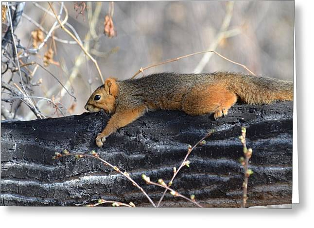Lounging Fox Squirrel Greeting Card