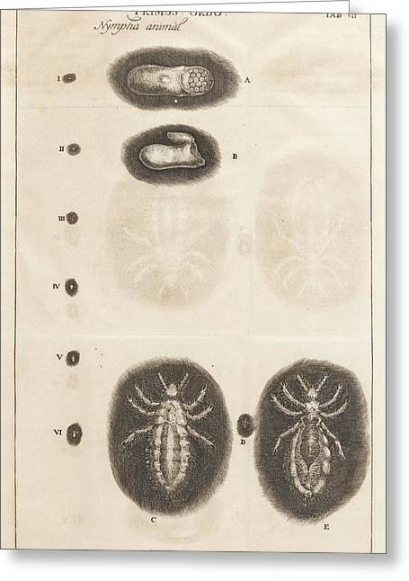 Louse Life Cycle Greeting Card by King's College London