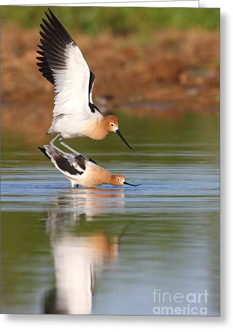 Greeting Card featuring the photograph Love Avocet Style by Ruth Jolly