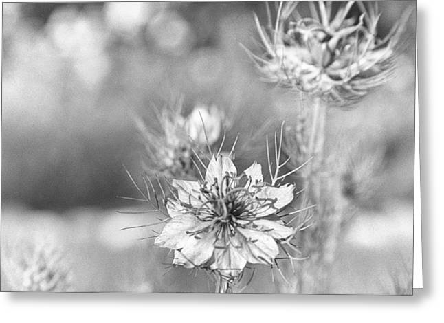 Love In A Mist Greeting Card by Caitlyn  Grasso