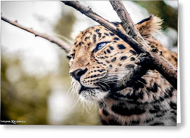 Greeting Card featuring the photograph Love Panther Iv by Stwayne Keubrick