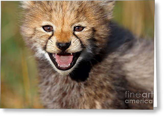 Loveable Portrait Of A Seven Weeks Old Cheetah Cub Greeting Card by Maggy Meyer