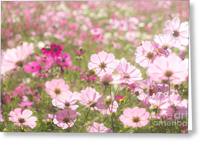 Lovely Backlit Pink And Fuchsia Cosmos Flower Field Greeting Card