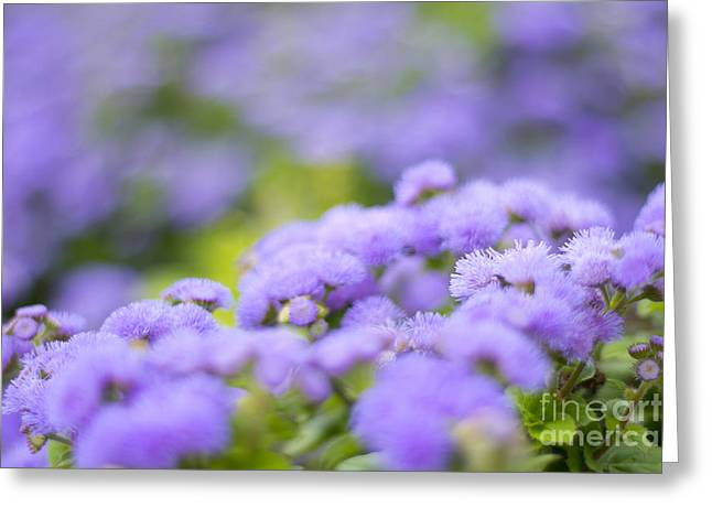 Lovely Blue Mink With Lavender Tones In Soft Focus Greeting Card