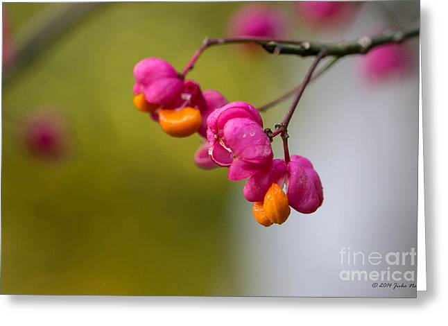 Lovely Colors - European Spindle Flower Seeds Greeting Card by Jivko Nakev