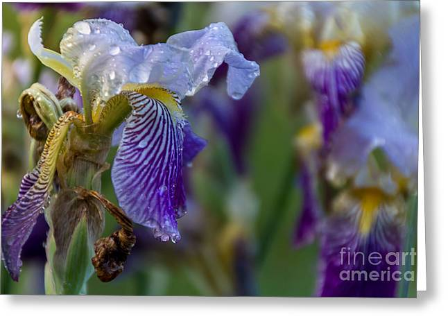 Lovely Iris Greeting Card