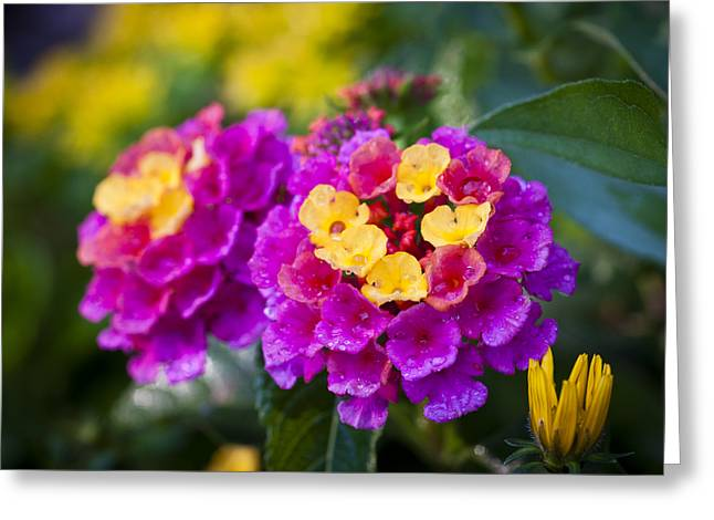 Lovely Lantana Greeting Card by Christi Kraft