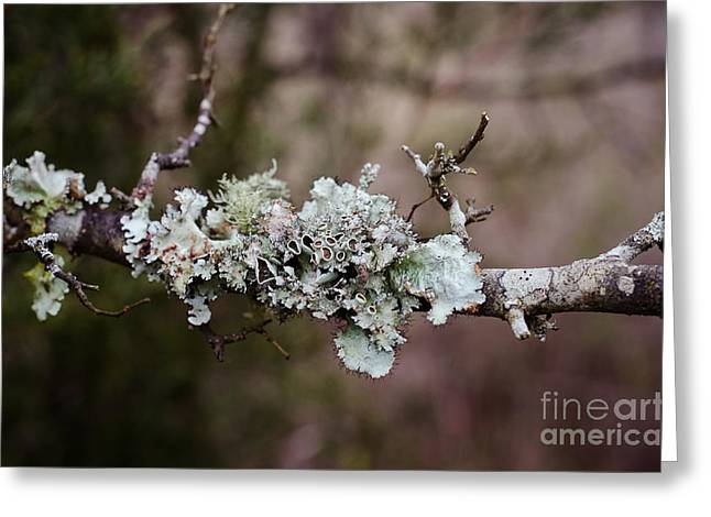 Lovely Lichen Greeting Card by Victoria Lawrence
