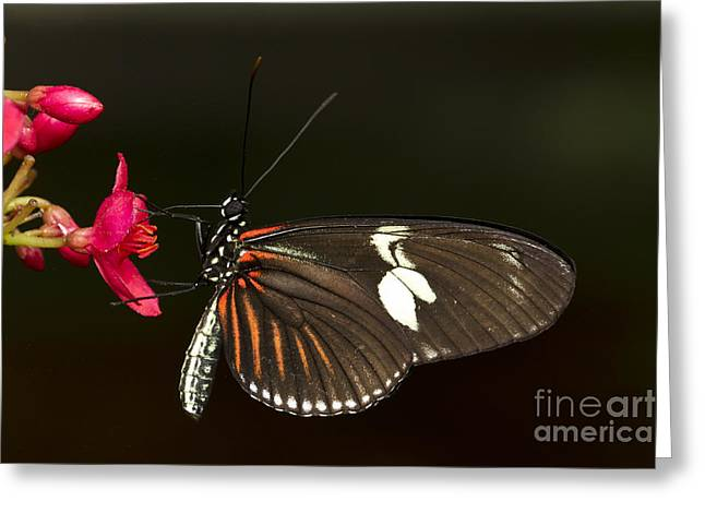 Lovely Longwing Greeting Card by Bryan Keil