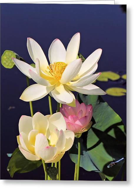 Lovely Lotus Greeting Card by Katherine White