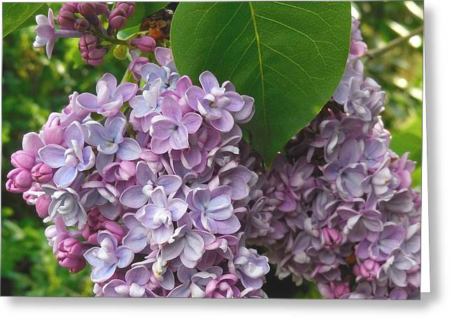 Lovely Luscious Lilacs Greeting Card