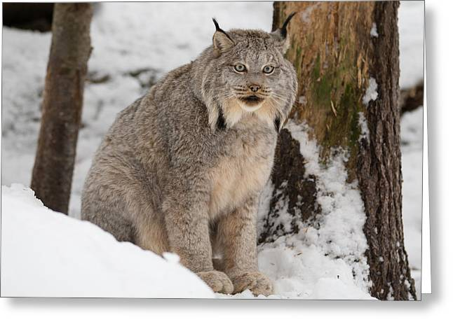 Lovely Lynx Greeting Card