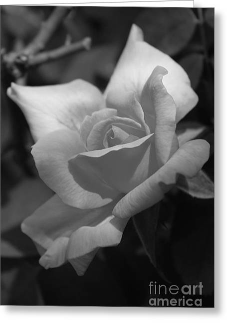 Lovely Rose Greeting Card by Tannis  Baldwin