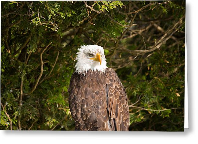 Low Angle View Of A Bald Eagle Greeting Card