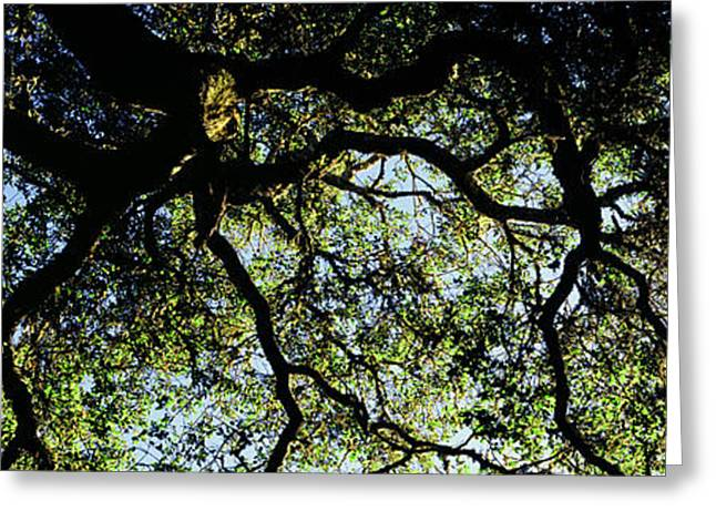 Low Angle View Of An Oak Tree, Ben Greeting Card