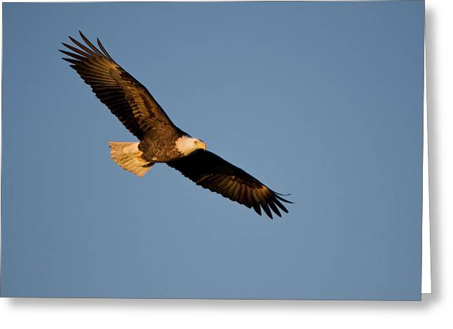 Low Angle View Of Bald Eagle Haliaeetus Greeting Card