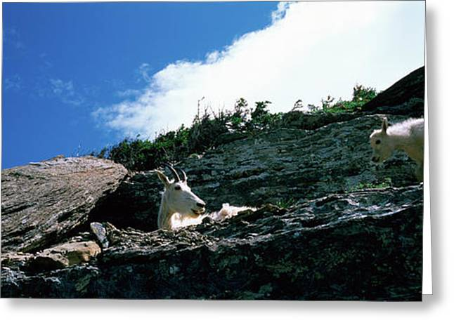 Low Angle View Of Two Mountain Goats Greeting Card