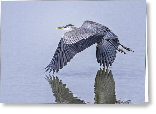 Low Flying Heron Greeting Card