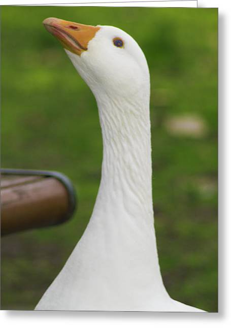 Greeting Card featuring the photograph Lucy Goose 2  by Naomi Burgess