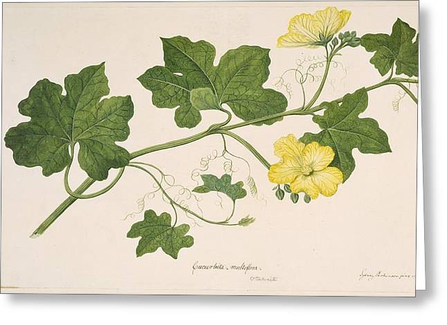 Luffa Cylindrica, 1769 Greeting Card by Science Photo Library