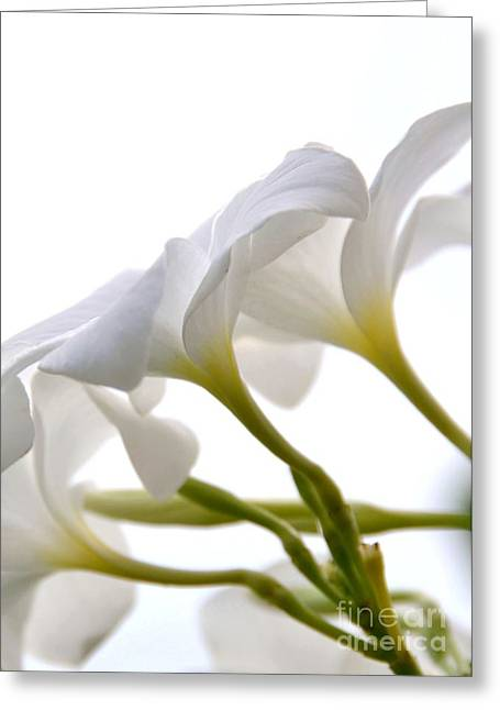 Greeting Card featuring the photograph Luminous Plumeria - White by Darla Wood