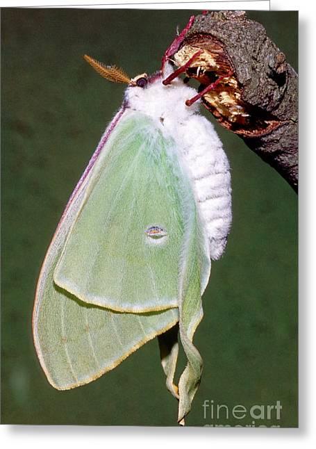 Luna Moth Actias Luna Drying Wings Greeting Card