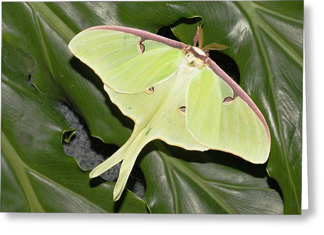 Luna Moth (actias Luna Greeting Card by Piperanne Worcester