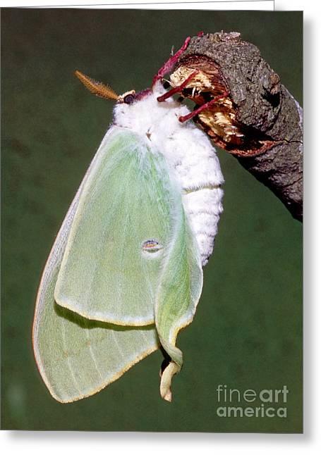 Luna Moth Actias Luna Unfurling Wings Greeting Card