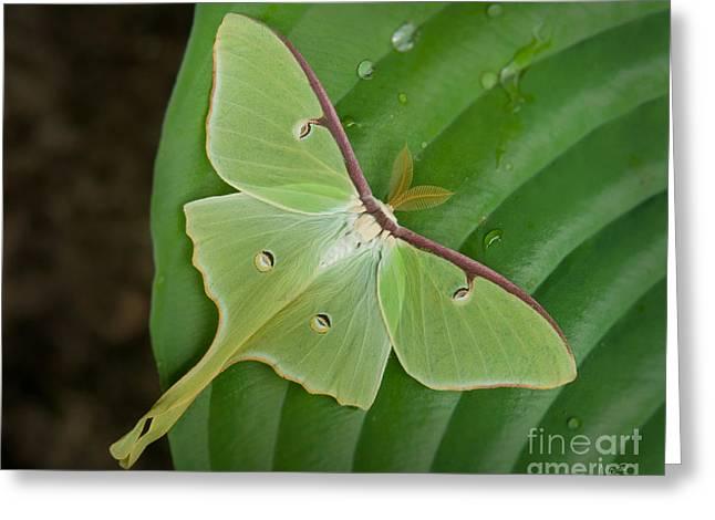 Luna Moth Greeting Card by Alana Ranney