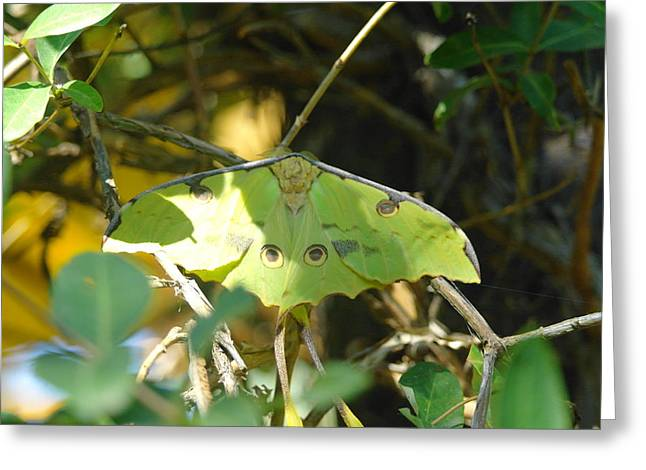 Luna Moth In The Sun Greeting Card by Jeff Swan