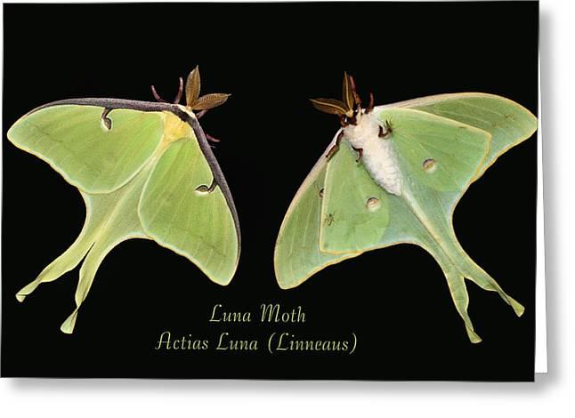 Luna Moth Greeting Card by Kristin Elmquist
