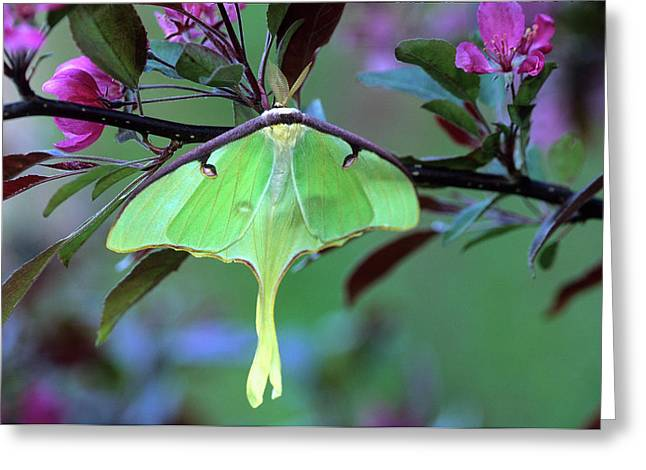 Luna Moth On Cherry Tree In Spring Greeting Card