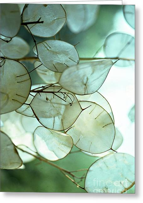 Lunaria Money Plant Greeting Card by Addie Hocynec