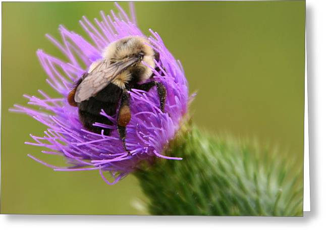 Lunching Atop A Thistle Greeting Card