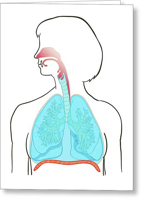 Lung Anatomy Greeting Card by Jeanette Engqvist