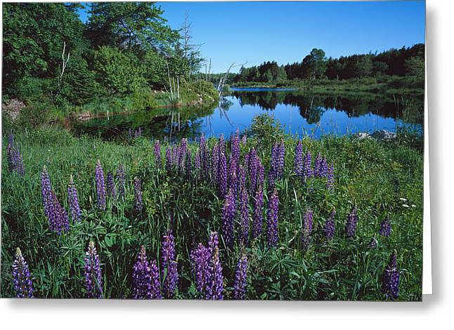 Lupin And Lake Greeting Card